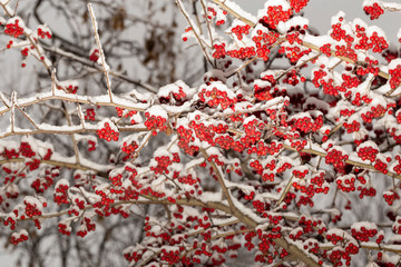 Crataegus, commonly called hawthorn, quickthorn, thornapple, May-tree,  whitethorn, or hawberry. The berries are matured and become food for birds in winter. Winter landscape with snow. Frozen forest.