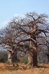 Baobab Bäume in Afrika