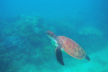 Green turtle swimming underwater photo. Sea turtle closeup. Oceanic animal in wild nature. Summer vacation activity