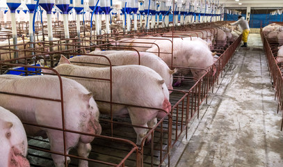 Suinocultura porco
