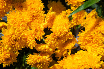 Yellow flowers closeup. Sunny garden detail photo. Summer floral abstract background. Yellow orange daisy