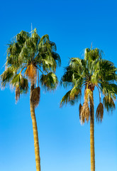 Two high date palm trees on blue background