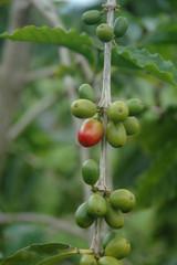 Coffee Cherries 5