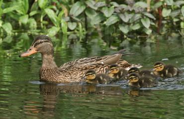 A female Mallard Duck (Anas platyrhynchos) swimming on a river with her cute ducklings.