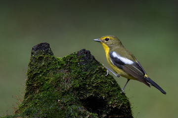 Green-backed Flycatcher in the forest, southern of Thailand.