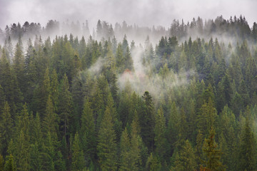 Carpathian spring forest with wrapped fog trees and fires.
