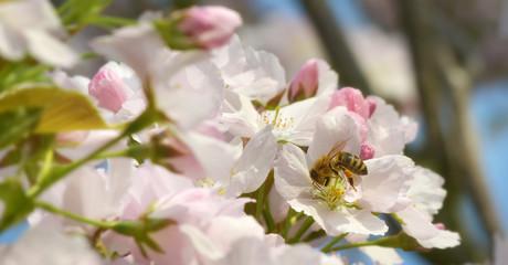 Banner mit Biene und Kirschblüten