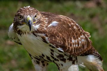 Red-tailed Hawk. Buteo jamaicensis. Fototapete