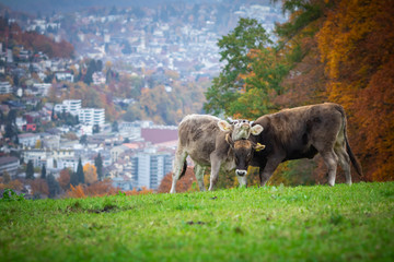 farmer picture - funny cow fighting and playing for food in alps green meadow grass at autumn with view on the city in switzerland near the forest in hills