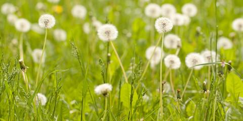 faded white fluffy dandelions in a summer green field or in a meadow