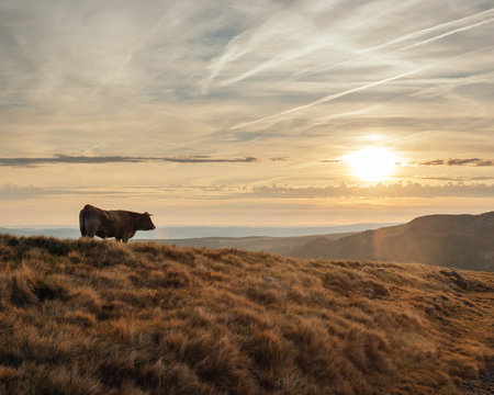 Cows in a rocky pasture of Cantal