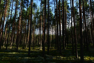 Dawn in a pine forest the first rays of the sun glide over the moss between the trees