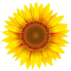 Sunflower isolated, vector flower illustration.