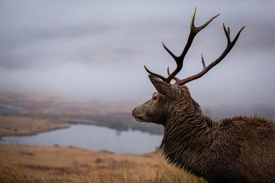 Male stag close up head shot, scottish loch background