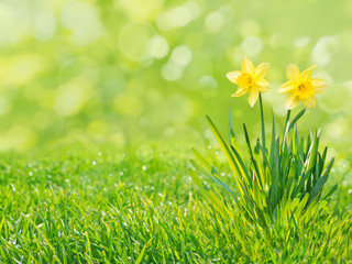 Yellow daffodil flowers isolated on the green grass lawn spring background