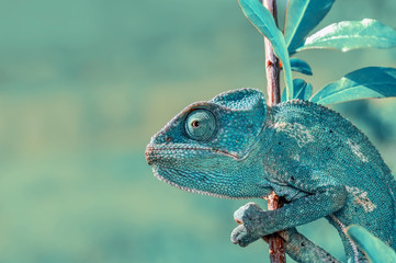 Poster Kameleon Beautiful green chameleon - Stock Image