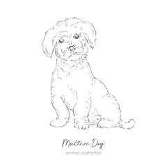 Vector illustration of Maltese dog. Hand drawn ink realistic sketching. Perfect for logo branding t-shirt coloring book design.