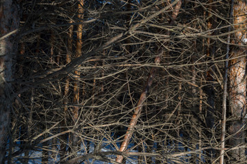 The branches of trees in the forest, winter thicket