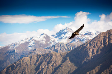 Andean Condor flying over the Colca Canyon in Peru