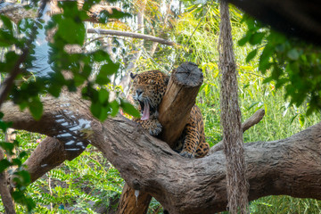 Jaguar lying on a tree, yawning with mouth wide open