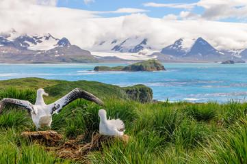 Wandering Albatross Couple on it's Nest