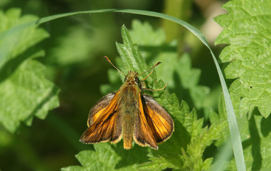 A Large Skipper Butterfly (Ochlodes sylvanus) perched on a stinging nettle.