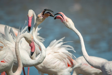 Fototapete - Fighting Pink Flamingoes