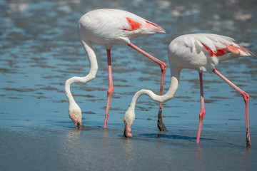 Fototapete - Pair of wild Pink Flamingos feeding
