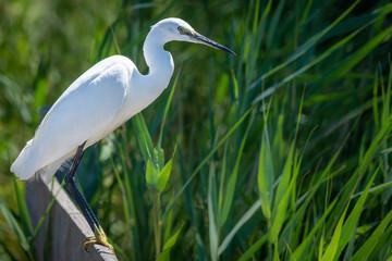 Fotoväggar - Wild Egret Heron Hunting