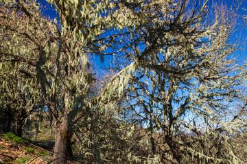 flora of Gran Canaria -  sweet chestnut in winter