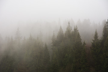 Foggy, spring forest with tall trees in the Ukrainian Carpathian Mountains.
