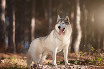 Beautiful gray Siberian Husky stands in the autumn forest with his paws on the trunk of a fallen tree.