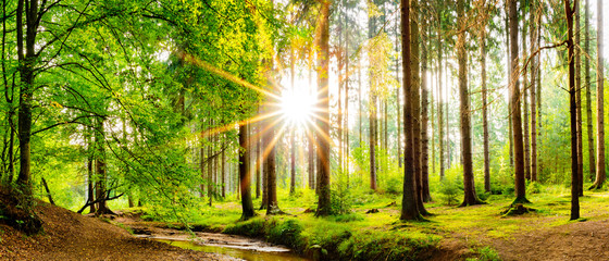 Photo sur Toile Forets Beautiful forest panorama in spring with bright sun shining through the trees