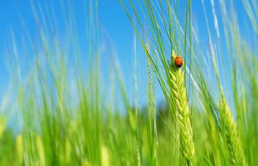Fototapeta Ladybird on  green barley spikelet. Natural background with ladybug on green barley obraz