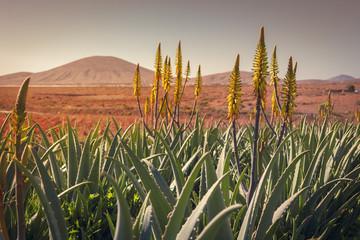 Sunrise on a aloe vera plantation in Tiscamanita, Fuerteventura, Canary Islands, Spain
