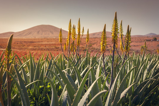 Sunrise on a aloe vera plantation in Tiscamanita, Fuerteventura, Canary Islands, Spain