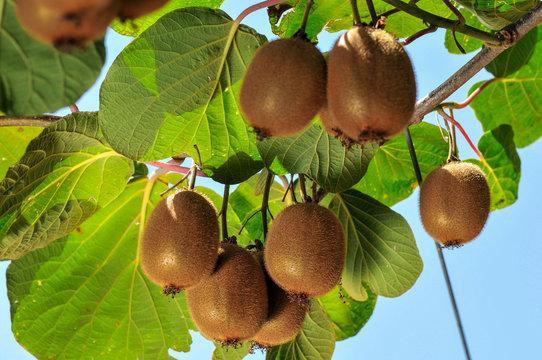 ripe fruits of kiwi plant organic cultivation