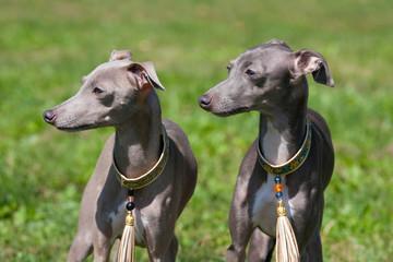 Portrait of nice Italian Greyhound