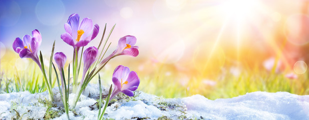 Photo sur Plexiglas Crocus Springtime - Crocus Flower Growth In The Snow With Sunbeam