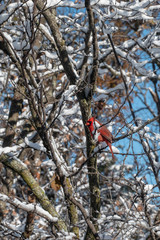 A male cardinal, white snow and blue skies makes an almost patriotic scene on a winter day in Missouri with bokeh effect.