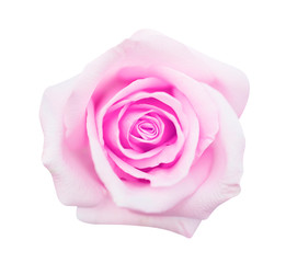 pink rose isolated on white background, soft focus and clipping path