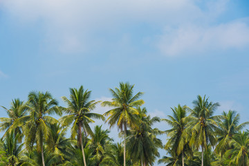 View of Coconut palm trees and beautiful blue sky background.