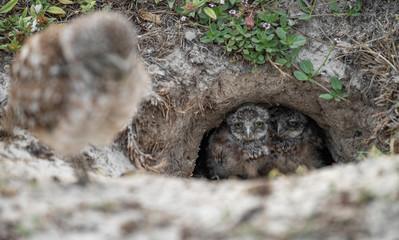 Fototapete - Burrowing Owlets in Florida