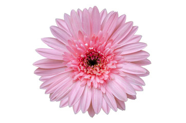 Wall Mural - Pink flower Isolate White background