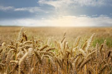 Getreidefeld mit Sonnenschein