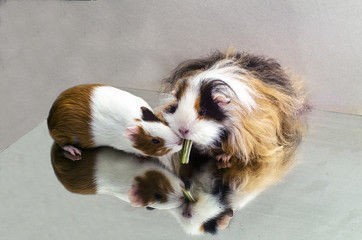 Two Guinea pigs on a plane mirror eat food – the stalk of a plant.