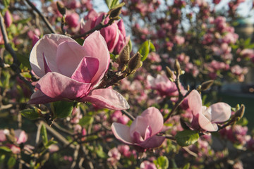 Spring flowers.Magnolias bloom on a tree.Beautiful pink plants grow in the park, in the garden.Warm sunny day.Natural beauty in the city center.A gift for women.Love for spring flowers.