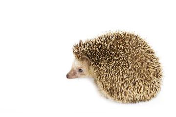 Image of small hedgehog isolated on white background. Wild Animals.