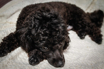 Little black young toy poodle pet on the bed