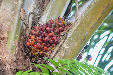 Malaysian Palm oil fruit ripen on the tree